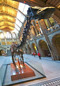The diplodocus in the Natural History Museum